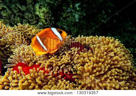 Clown Fish In The Red And Brown Anemone Over The Black Background