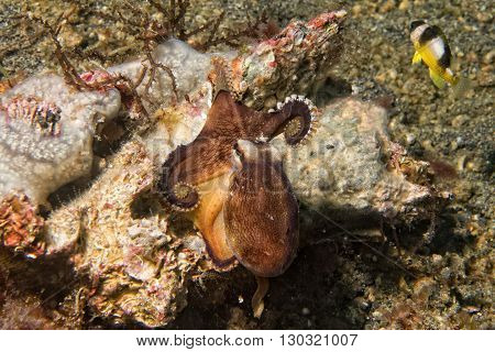Coconut Octopus Underwater Portrait