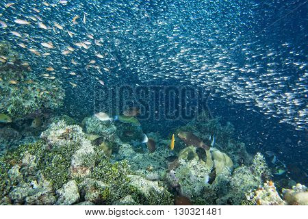 Glass Fishes Giant Bait Ball Moving Underwater