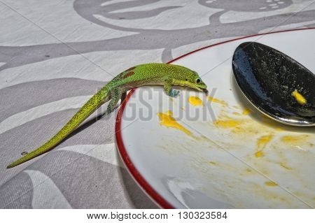 Gold Dust Day Gecko While Eating Mango