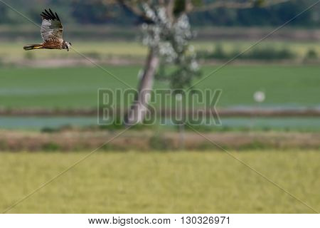 Hawk While Flying And Hunting