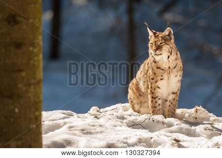 Lynx Portrait On The Snow Background