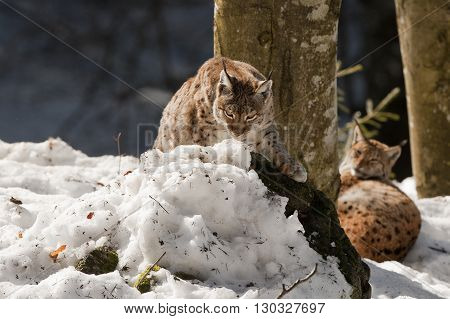 Two Lynx In The Snow Background While Looking At You