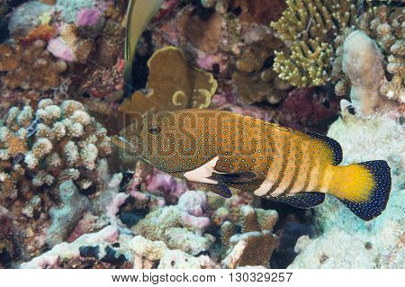 Colorful Grouper On The Reef