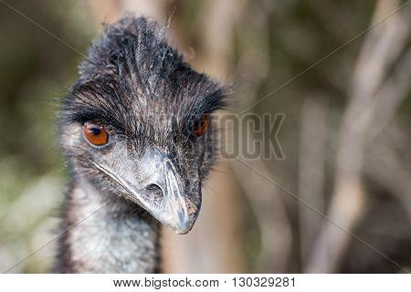 Wild Emu Close Up Portrait