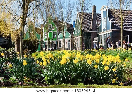 Zaanse schans, Netherlands - April 1, 2016: Zaanse Schans village, Holland, green houses ,yellow daffodil flowers and people