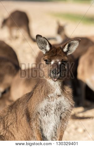 Kangaroos Close Up Portrait While Looking At You