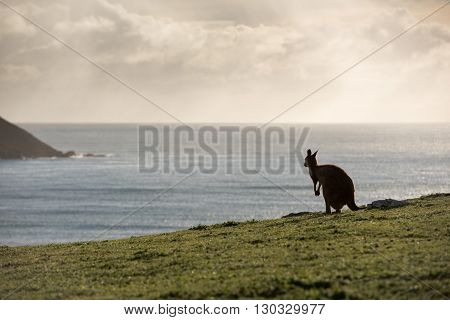 Kangaroo Portrait Silhouette On Green Grass