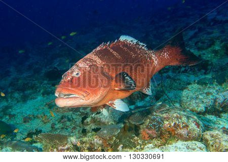 Giant Colorful Grouper Isolated On Ocean