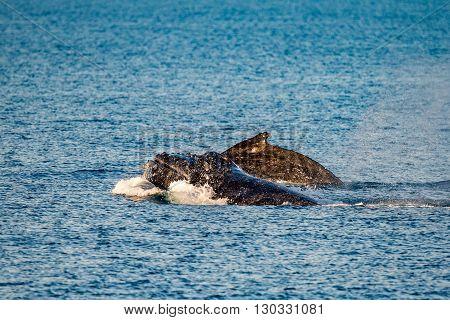 Humpback Whales Swimming In Australia