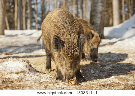 Isolated Wild Pork While Eating