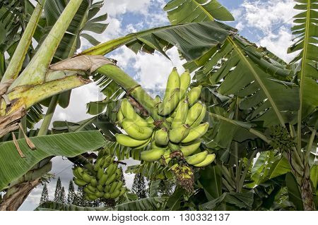 Bananas On A Tree Not Ready For Harvest