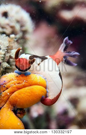 Colorful Nudibranch Hanging On Sponge In Sipadan, Borneo, Malaysia