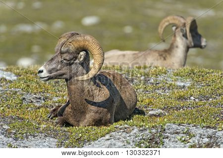 Big Horn Sheep Portrait On Rocky Mountains Canada