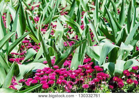 Pink English daisies - Bellis perennis - with big green leaves in spring park. Seasonal natural scene. Bellasima rose. Vibrant color.