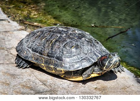 Red-eared slider - Trachemys scripta elegans - basking on the stone. Animal scene. Aquatic terrapin. Beauty in nature.