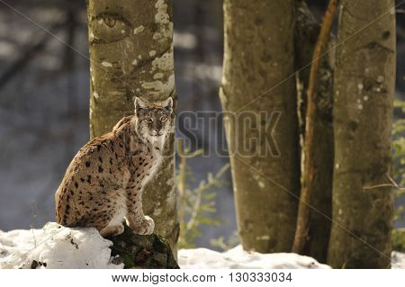 An Isolated Lynx In The Snow Background While Looking At You While Sitting On A Rock