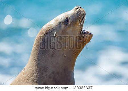 Female Sea Lion Seal Yawning
