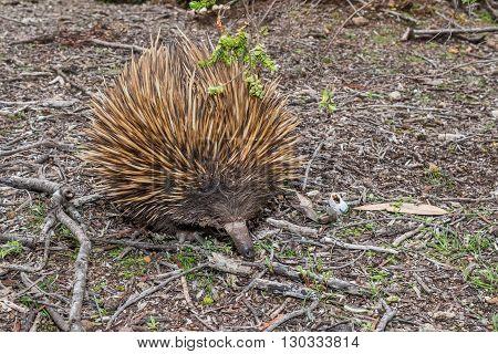 Echidna Australian Endemic Animal