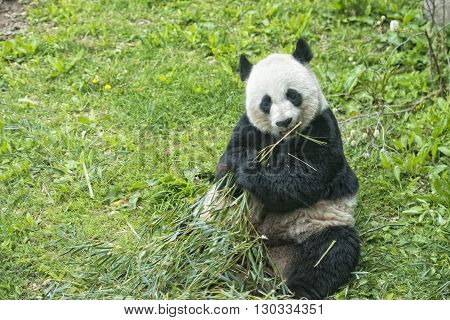 Giant Panda While Eating Bamboo