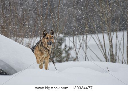German Shepard Dog On The Snow Background
