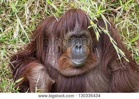 Orangutan Portrait On The Grass Background