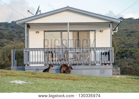 Puzzled Kangaroo Portrait Outside House