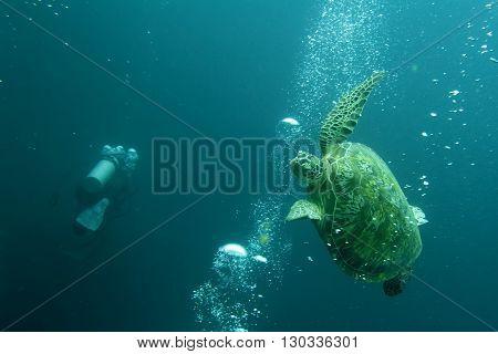 A Turtle Avoiding Scuba Divers Bubbles In Sipadan, Borneo, Malaysia