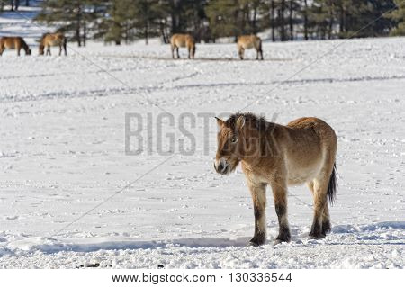 Mongol Horse On Snow