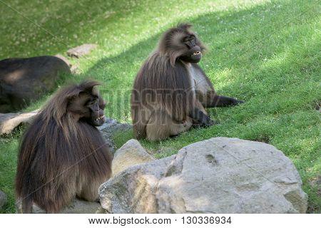 Gelada Baboon Monkey Ape Portrait