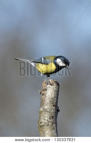 Great Blue Tit Blue Yellow And White Bird