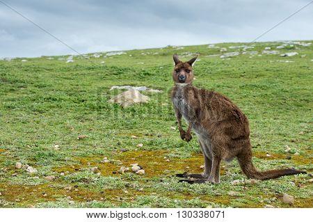 Puzzled Kangaroo Portrait Close Up Portrait