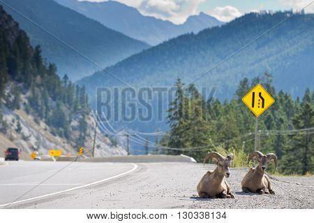 Big Horn Near Highway Portrait