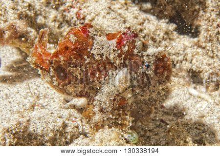 Red Frog Fish Close Up Portrait