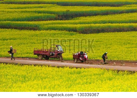 Luoping, China - February 26, 2016: farmer in canola field examining crop, Agriculture is a vital industry in China.