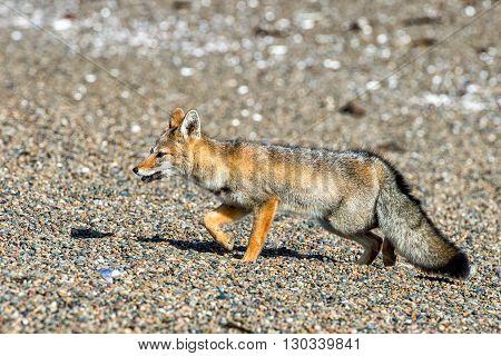 Grey Fox On The Beach