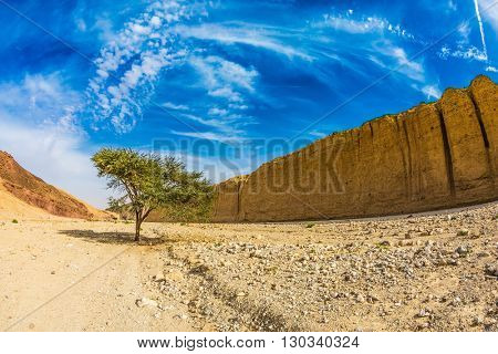 The stone desert in Eilat mountains, Israel. Tree desert of Umbrellata Acacia in the Black canyon