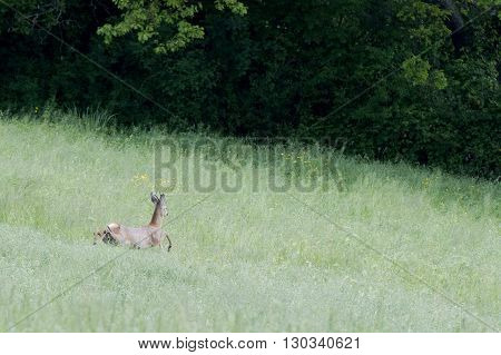 Isolated Roe Deer While Jumping On The Grass