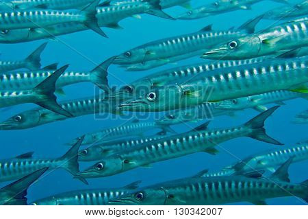 Inside A School Of Barracuda