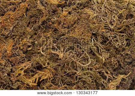 Organic Dried Moss Grass (Polytrichum commune). Macro closeup background texture.