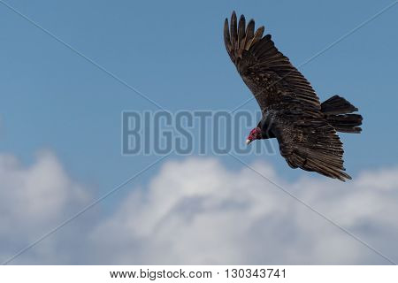 Buzzard Red Head Portrait While Flying Ont Cloudy Sky