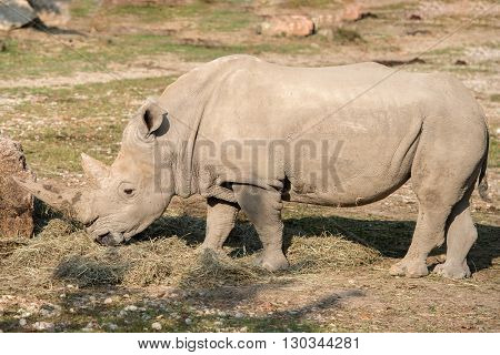 White Rhino Close Up Portrait