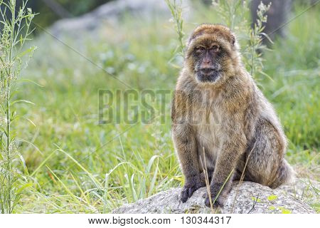 Barbary Ape Portrait On Green Grass Background