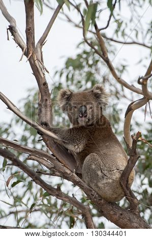 Wild Koala On A Tree While Looking At You