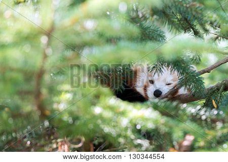 Red Panda Hiding On A Tree