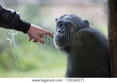 Ape Chimpanzee Monkey After A Glass