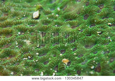 A Colorful Green Hard Coral  Macro In Cebu Philippines