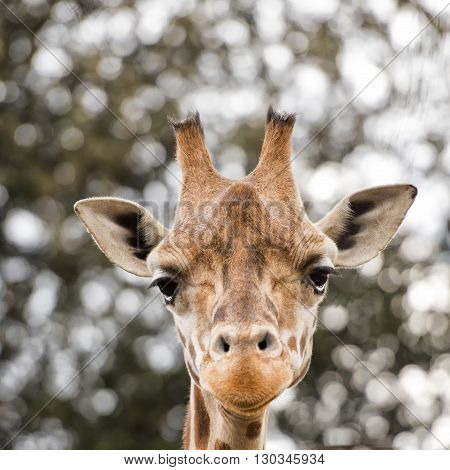 Isolated Giraff Close Up Portrait