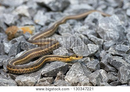 Snake On The Rocks