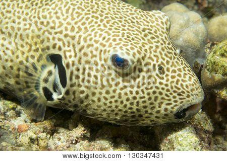 Puffer Fish In Cebu